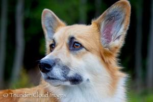 ThunderCloudImages_wildlifephotography_Montana_StormyBarton_Corgi2