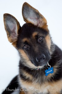 ThunderCloudImages_wildlifephotography_Montana_StormyBarton_GermanShepherdPuppy3