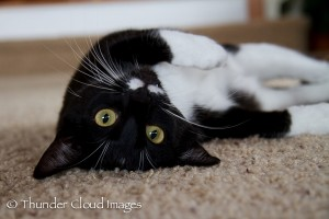 ThunderCloudImages_wildlifephotography_Montana_StormyBarton_cat