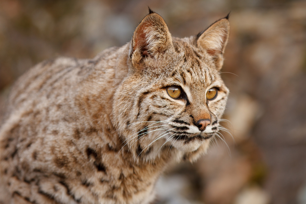 Bozeman_Photographer_wildlife_art_bobcat
