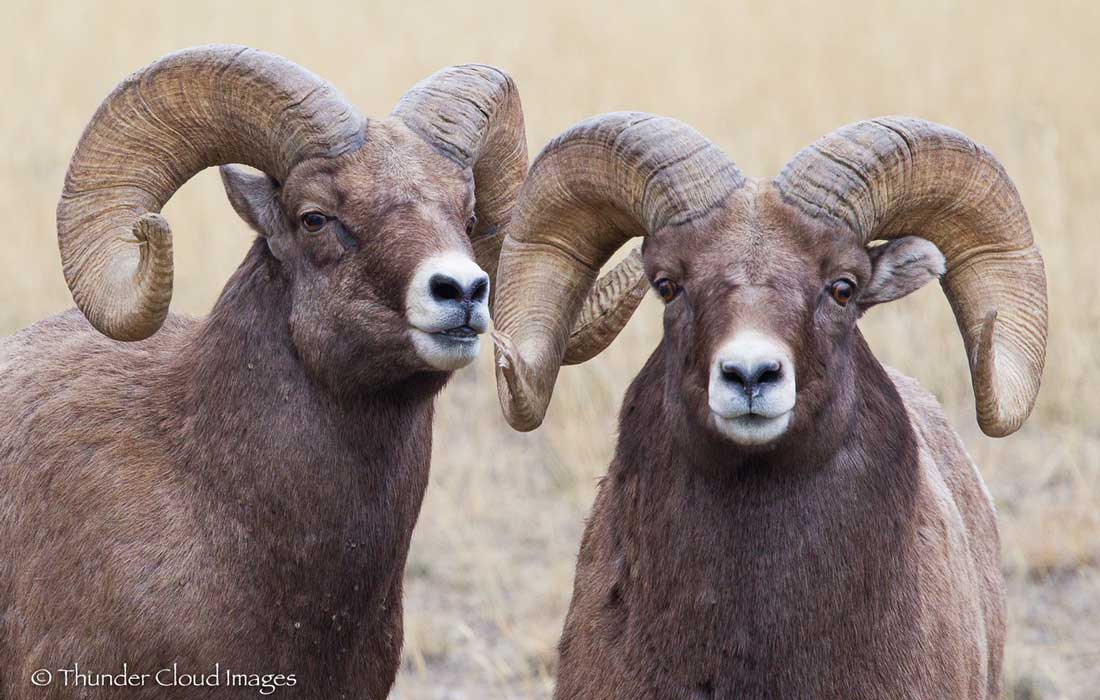 big_horn_sheep